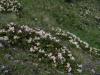 Kleine Rhododendren, nur 15 cm hoch