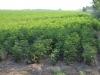 Baumwollplantagen so weit das Auge reicht