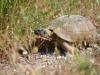 Freilaufende Schildkröte