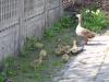 Wenn man Mutter Gans anbindet, laufen auch die Kinder nicht weg